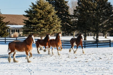 Clydesdale Horses Outing