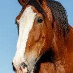 Clydesdale-Outing-5.jpg